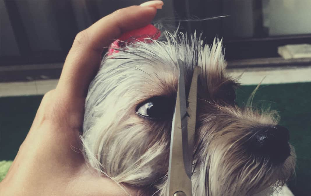 how to get rid of morkie tear stains the morkie guide