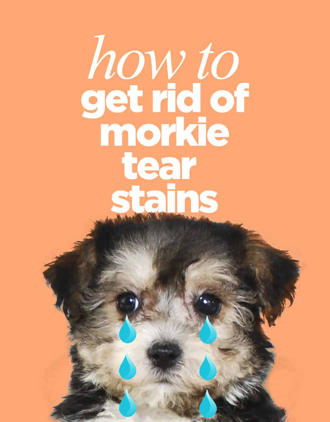 How To Get Rid Of Morkie Tear Stains
