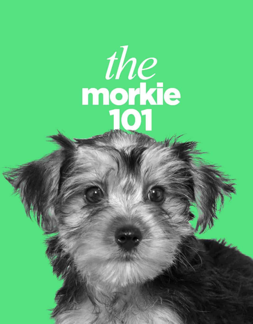 The Morkie Dogs 101 - Everything About Morkie Dogs
