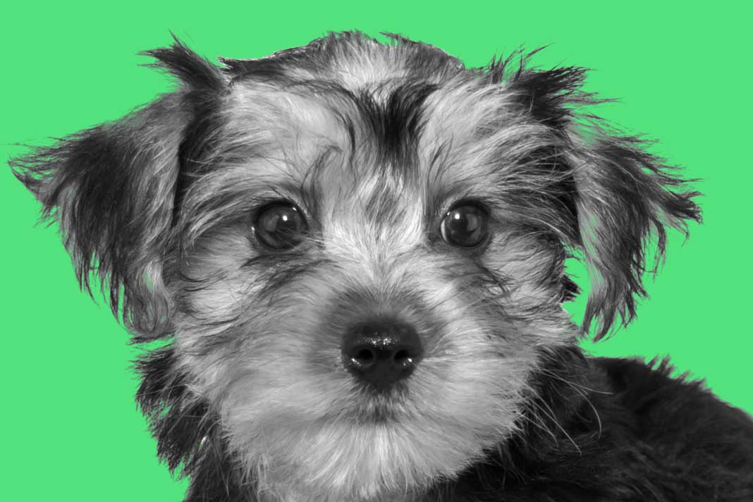 The Morkie Dogs 101 - ...