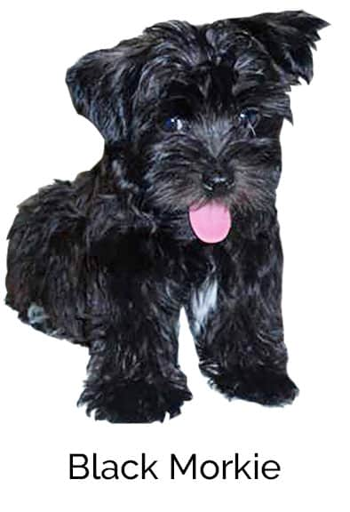 The Morkie Dogs 101 Everything About Morkie Dogs