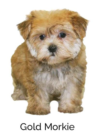 What Can You Train Morkie Dogs To Do