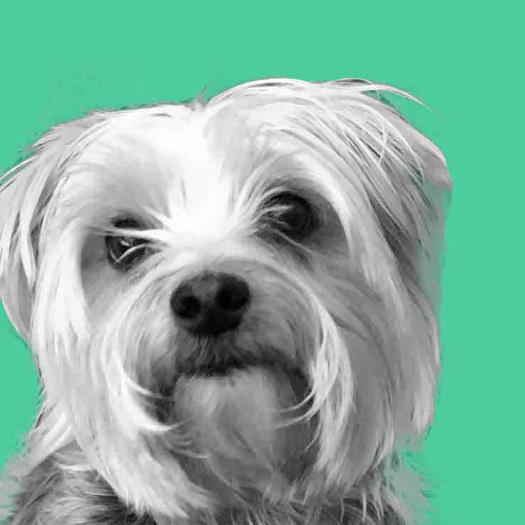 Potty Training A Morkie Using Puppy Pads